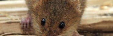 Harvest Mouse, by Flickr user Lex McKee